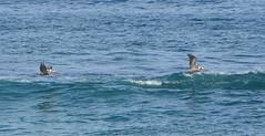 Flying pelicans (afagen) Tags: california pacificgrove asilomarstatebeach montereypeninsula asilomar beach pacificocean ocean bird