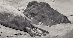20180505_cayucos_bw_013 (petamini_pix) Tags: california blackandwhite blackwhite bw monochrome grayscale rock elephantseal shape abstract panoramic sand beach texture mammal sansimeon animal