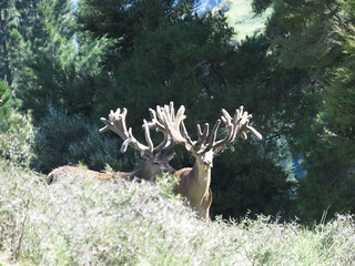 New Zealand Trophy Red Stag Hunting - Kaikoura 44