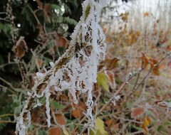 Frosty Webbing (Shelley Penner) Tags: frost webbing spiderwebs naturesjewelry autumnleaves orange