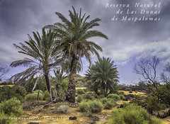 Reserva Natural Dunas de Maspalomas (Fotomanufaktur.lb) Tags: palme strand beach dünen schoelkopf schölkopf
