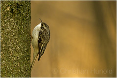 brown creeper (Christian Hunold) Tags: browncreeper andenbaumläufer johnheinznwr philadelphia christianhunold