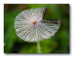Ballerina, HMM. (natureflower photography) Tags: ballerina fungi mushroom little plant wild garden