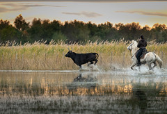 Golden Run (MrBlackSun) Tags: blackbull camargue southfrance france black bull nikon d850 guardian gardian
