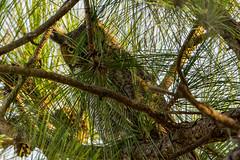 Not enough camo (ChicagoBob46) Tags: greathornedowl owl bird veniceareaaudubonrookery rookery florida nature wildlife naturethroughthelens coth5 ngc