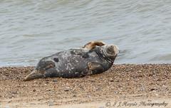i has an itch (ian._harris) Tags: animals beach colours d7200 flickr horsey juvenile life natural naturaleza nature naturephotography nikon sigma sunny seal seals november