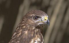 Buteo buteo (Torok_Bea) Tags: buteobuteo bird nikon natur nature nikond7200 d7200 portrait animal portre ölyv egerészölyv