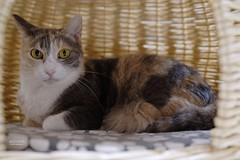 A7R3__DSC2172_DxO (Bazoka+Cynthia) Tags: pupu 小婆 新北市 樹林區 貓 cat