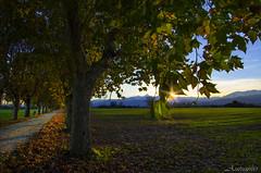 Viale 7a (celestino2011) Tags: viale alberi foglie autunno raggi sole panoramica