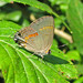 Red-banded hairstreak - aberrant