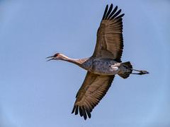 nature (pstrock1) Tags: sky morning wings wild wildlife fly nature water field beauty bird wind sandhillcranes marsh