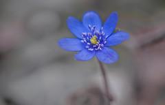 Hepatica transsilvanica (Torok_Bea) Tags: hepaticatranssilvanica májvirág erdélyimájvirág flowers flower nikon nikond7200 natur nature nikond sigma sigma105 sigmalens sigma105mm spring macro