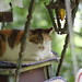Calico Cat (Flexible Negativity) Tags: 猫 cat 貓 meow ねこ caturday nuko calico k70 pentax
