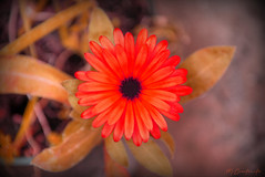 Fire Flower (HiJinKs Media...) Tags: flower leaves life colours colors colori colores colour plant petals bokeh nature natura supermario fireflower orange green grey bright colourful colorful perspective