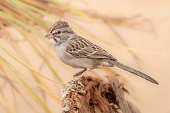 Rufous-winged Sparrow (gilamonster8) Tags: wood landscape natuesbest sigma flickr animal 5dmarkiv feather 150x600 macro wildlife naturetop tucson arizona eos rufouswingedsparrow beak ngc