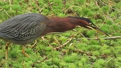 Stalking green heron, in water weeds. (Ruby 2417) Tags: heron green bird wildlife nature neck gray lodge gridley