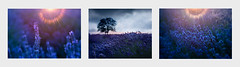 Lavender Sunset (Photoartitude) Tags: lavender flare sunset field nature summer light wildflowers