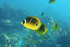 collusion (BarryFackler) Tags: raccoonbutterflyfish chaetodonlunula kikakapu butterflyfish fish school group clunula yellowfingoatfish mulloidichthysvaricolensis wekeula goatfish mvaricolensis honaunau honaunaubay southkona hawaii hawaiiisland hawaiicounty hawaiidiving bigislanddiving konadiving hawaiianislands marine marineecology marineecosystem marinelife marinebiology 2019 water westhawaii ecology ecosystem reef tropical polynesia pacific pacificocean organism outdoor ocean island undersea underwater barryfackler barronfackler bigisland biology bay being nature vertebrates coralreef creatures seacreatures coral zoology animals aquatic sea scuba sealifecamera sandwichislands saltwater seawater sealife dive diver diving kona konacoast life