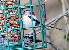 Long Tailed Tit (marra121) Tags: nuthatch long tailed tit great blue siskin red squirrel whitehaven cumbria silver meadow wood birds