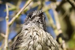 Cachudito (Anairetes parulus). (Andres Bertens) Tags: 6378 olympusem10markii olympusomdem10markii olympusm40150mmf4056r olympusmzuikodigitaled40150mmf4056r olympusmzuikodigitaled40150mm rawtherapee cachudito bird ave anairetesparulus