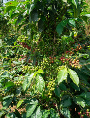Different stages of ripeness on a nicely productive tree (Coffee Collective) Tags: kenya kieni coffee directtrade nyeri thecoffeecollective