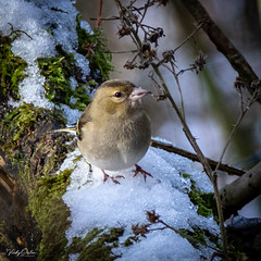 Chaffinch female in the snow (vickyouten) Tags: chaffinch finch nature naturephotography wildlife britishwildlife wildlifephotography nikon nikond7200 nikonphotography sigma sigma150600mmc penningtonflash leigh uk vickyouten