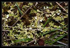 Cladonia foliacea subsp. endiviifolia (cquintin) Tags: fungi ascomycota lecanoromycetes lecanorales cladoniaceae cladonia foliacea endiviifolia lichen