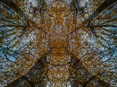 Strange Things Hide in Trees (If only you look up) (Craig Hannah) Tags: trees beech layers autumn fall colours longexposure bigstopper greenfield saddleworth pennine nature naturalworld westriding yorkshire leaf leaves orange shapes merging craighannah 2018 november oldham greatermanchester england uk photography photos canon symmetry trunk abstract