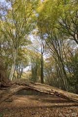 DN9A6942 (Josette Veltman) Tags: speulderbos herfst gelderland veluwe nederland autumn forest bomen bos trees leafs