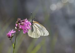 Põualiblikas (Aporia crataegi) (aiveaarma) Tags: põualiblikas aporia crataegi aporiacrataegi liblikas liblikad butterfly macro tamron90 white blackveined eesti estonia