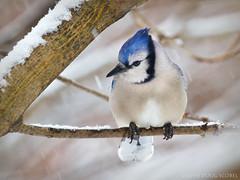 "Another Dissenting Vote (Doug Scobel) Tags: ""birdperfect"" blue jay cyanocitta cristata michigan winter bird wild wildlife nature snow"