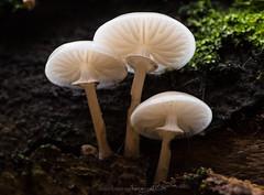 Porcelain fungus (Daniel James Greenwood) Tags: southdownsnationalpark ebernoecommon nikond750 danielgreenwoodphotography danielgreenwood westsussex fungi fungimacro macro porcelainfungus sigma105mmf28exdgmacroos