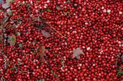 Cranberries and Leafs (azhukau) Tags: red food organic closeup nature ripe freshness agriculture healthyeating rawfood seasoning cranberries berry leafs mapleleaf kodak ektachrome analogphotography filmphotography contaxrx harvest carlzeiss planart85mmf14