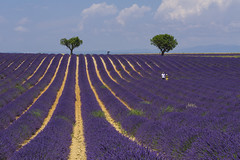 131 (fp76.it) Tags: colorful lavanda provence francia france valensole colors lines pattern trees landscape sky provenza travel nature matchpointwinner mpt672