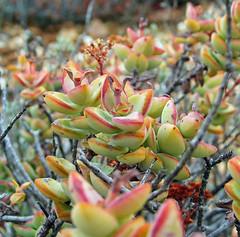 Crassula perforata - east of de rust, south africa 3 (Russell Scott Images) Tags: derust southafrica succulent plant crassula perforata