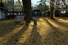 Morning Sun Light at Temple Grounds (seiji2012) Tags: あきる野 五日市 広徳寺 銀杏 イチョウ 朝日 光 境内 影 light shadow morning temple ginkgo akiruno japan