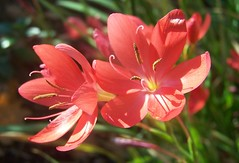 Lily (ERIK THE CAT Struggling to keep up) Tags: manor estate stafford lily flowers ngc