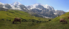 Alpine cows with view of Jungfrau massive - Switzerland (roland_tempels) Tags: cows jungfraumassive switzerland mountains nature animals supershot alps europe