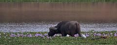 Büffel an Wasserhyazinthen (Geonaut) Tags: 2018 buffalo büffel krugernationalpark krügernationalpark limpopoprovinz mhalamhala südafrika zaf geo:lat=2383918700 geo:lon=3162099700 buffel za