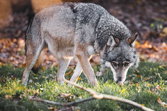 Wolf (Soren Wolf) Tags: wolf wolfs wolves zoo opole autumn colors warm sunset nikon d7200 300mm animal animals nature closup licking eyes tongue