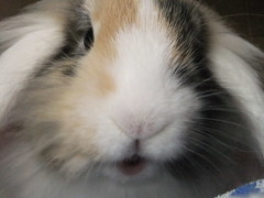 """""""Hello, everybunny!"""" (eveliensbunnypics) Tags: bunny rabbit lop lopeared noa lionhead baby face closeup nose mouf mouth lips pink"""