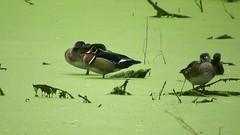 Wood Duck_3750.mp4 (Henryr10) Tags: eastforklake eastforkstatepark bethelohio littlemiamiriverbasin usa stevenewmantrailhead woodduck aixsponsa aix duck avian bird vogel ibon oiseau pasare fågel uccello tékklistar waterfowl wodu