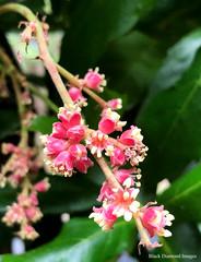 Davidsonia johnsonii - Smooth Davidsonia, Smooth Davidson's Plum (Black Diamond Images) Tags: davidsoniajohnsonii davidsonia smoothdavidsonsplum cunoniaceae australianrainforestplants arfp nswrfp qrfp arfflowers pinkarfflowers subtropicalarf smoothdavidsonia ncrbgcharfpncrbgch coffsharbour northcoastregionalbotanicgardens nsw pinkfp flowers australianrainforestflowers australianrainforestflora plant blossom flowercluster outdoor flower iphonex