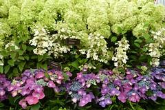 Hydrangeas (Seventh Heaven Photography **) Tags: 127th shrewsbury flower show shropshire england nikon d3200 august 2014 flowers flora floral blooms hydrangea purple green