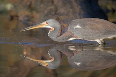 Instant Replay (gseloff) Tags: tricoloredheron bird feeding fish water reflection wildlife animal nature horsepenbayou pasadena texas kayak gseloff