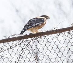 wmhawk_02 (AgeOwns.com) Tags: hawk birdofprey raptor red shouldered gaithersbird gaithersburg maryland moco montgomery county