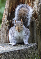 Squirrel (33) (Mal.Durbin Photography) Tags: wildlifephotography maldurbin naturephotography wildbirds forestfarm nature naturereserve