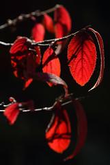Hot Vibrant Red (AnyMotion) Tags: leaf leaves blatt blätter autumncolours herbstfärbung 2018 plant pflanze anymotion nature natur botanicalgarden botanischergarten frankfurt 7d2 canoneos7dmarkii colours colors farben red rot autumn fall herbst automne otoño