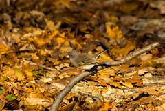 7K8A1107 (rpealit) Tags: scenery wildlife nature weldon brook management area darkeyed junco bird