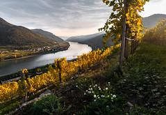 The autumn in it`s full glory (Christoph H. Amateur Photography) Tags: river danube donau autumn leaves wachau sunset sun